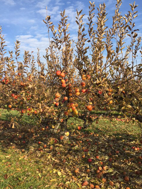 apples-farm-catoctin-mountain-orchard-frederick-county-2017